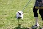 犬が散歩を拒否するときに見せる仕草8つ