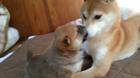 柴犬親子にほっこり♪生後1か月のムチムチな子犬にキュンキュン!