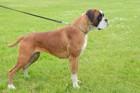 ボクサー犬の性格と特徴、子犬の値段から飼い方まで