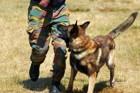 軍用犬とは?適した犬種や仕事の内容、兵士との関係や歴史まで