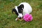 犬にとっての毒リスト!あなたは全部知っていますか?
