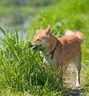犬が草を食べて吐いても大丈夫?対処法と注意点