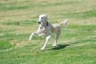 犬の胃拡張と胃捻転のリスク要因を割り出した統計調査