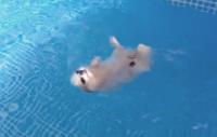 犬かきからの背泳ぎ!?見事なターンを披露するチワワの器用さにあっぱれ。・゚・(ノ∀`)・゚・。