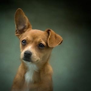 片耳が垂れた犬