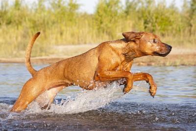 水の中を走るローデシアンリッジバック