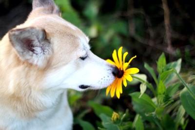 黄色い花へ鼻を近づける犬