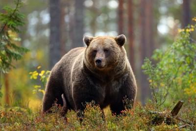 森の中のクマ