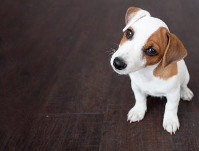 首をかしげる可愛い犬