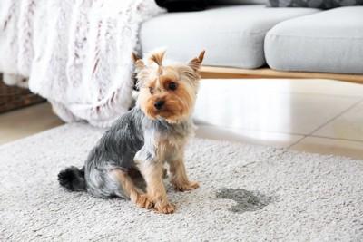カーペットの上でおしっこをした犬