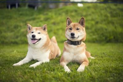 二頭の柴犬