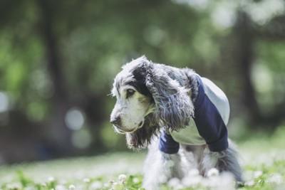 シロツメクサと洋服を着た老犬