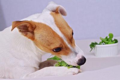 野菜を食べているジャックラッセルテリア