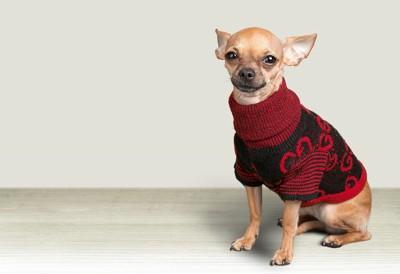 セーターを着ている犬の写真