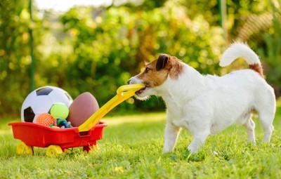 おもちゃを運ぶジャックラッセルテリアの子犬