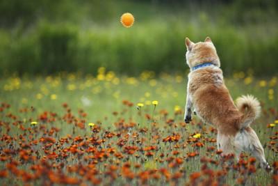 ボールを追う柴犬の後ろ姿