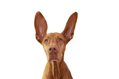 音を聞く犬