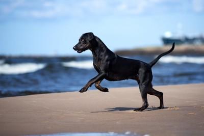 ビーチを走る黒い犬