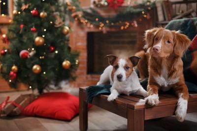 クリスマスの飾り付けをした部屋でくつろぐ二匹の犬