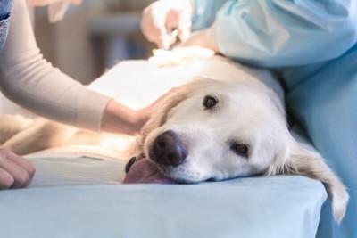 避妊手術中の犬