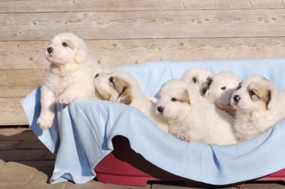 グレートピレニーズの子犬たち
