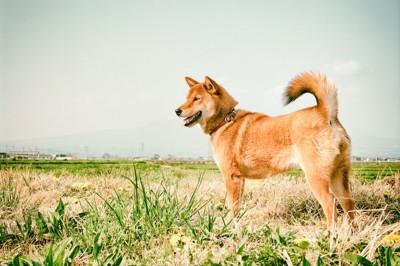 野原に立つ凛々しい柴犬