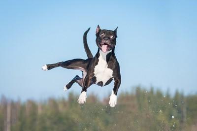 舌を出してジャンプする犬