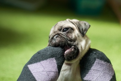 靴下を噛む犬