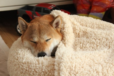 毛布に包まれて寝ている犬