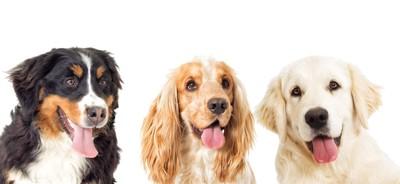舌を出した垂れ耳の三匹の犬