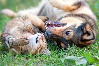 芝生に寝転んで遊ぶ犬と猫