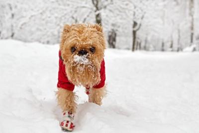 赤い服と靴を履いて雪の中を歩くブリュッセルグリフォン