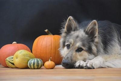 かぼちゃと伏せをする犬