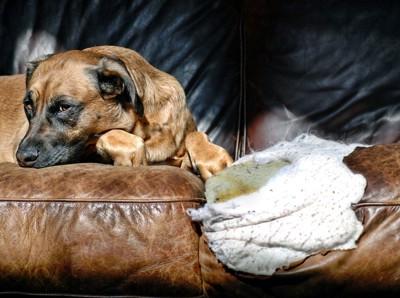 革を剥がされたソファーと垂れ耳の犬