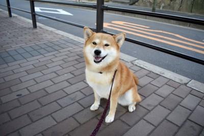 散歩中の笑顔の柴犬