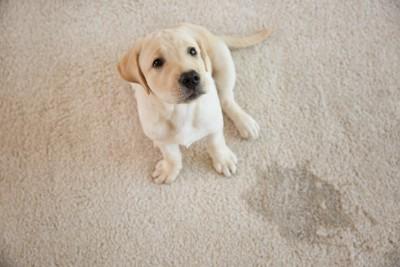 カーペットの上でお漏らしをした子犬