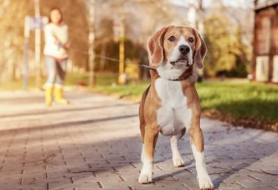 長いリードで散歩中の犬