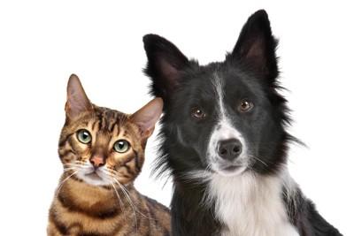 ボーダーコリーと猫、白い背景