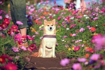 座る柴犬とコスモス畑