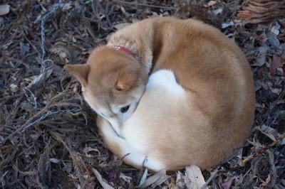 丸くなって寒そうにしている犬