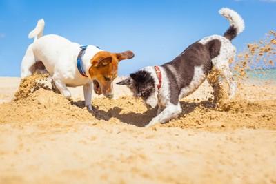 地面に穴を掘って遊ぶ2匹の犬