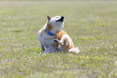 体を掻く柴犬