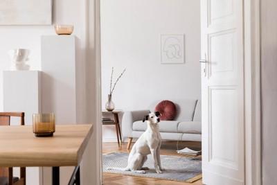 部屋の中で座っている白い犬