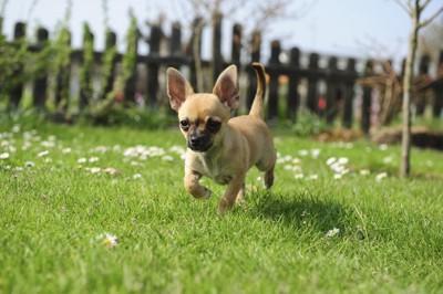 庭を走るチワワ