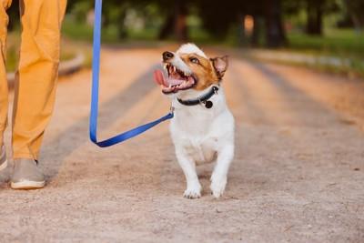 飼い主さんを見上げながらお散歩する犬