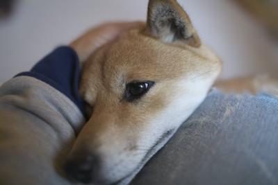 飼い主の足に顎を乗せる犬