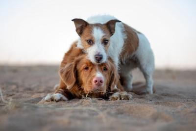 犬に乗っかる犬