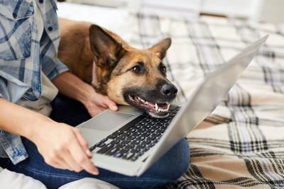 飼い主の操作するパソコンの上に顎を乗せる犬