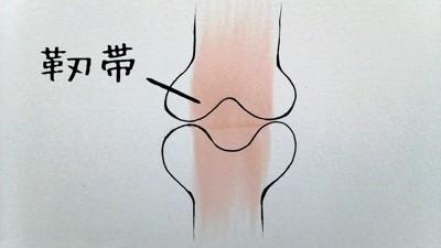 靭帯の簡単なイラスト