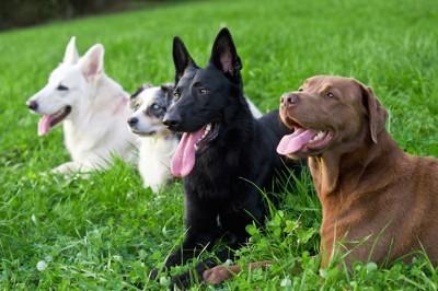 芝生に並んで伏せる犬たち